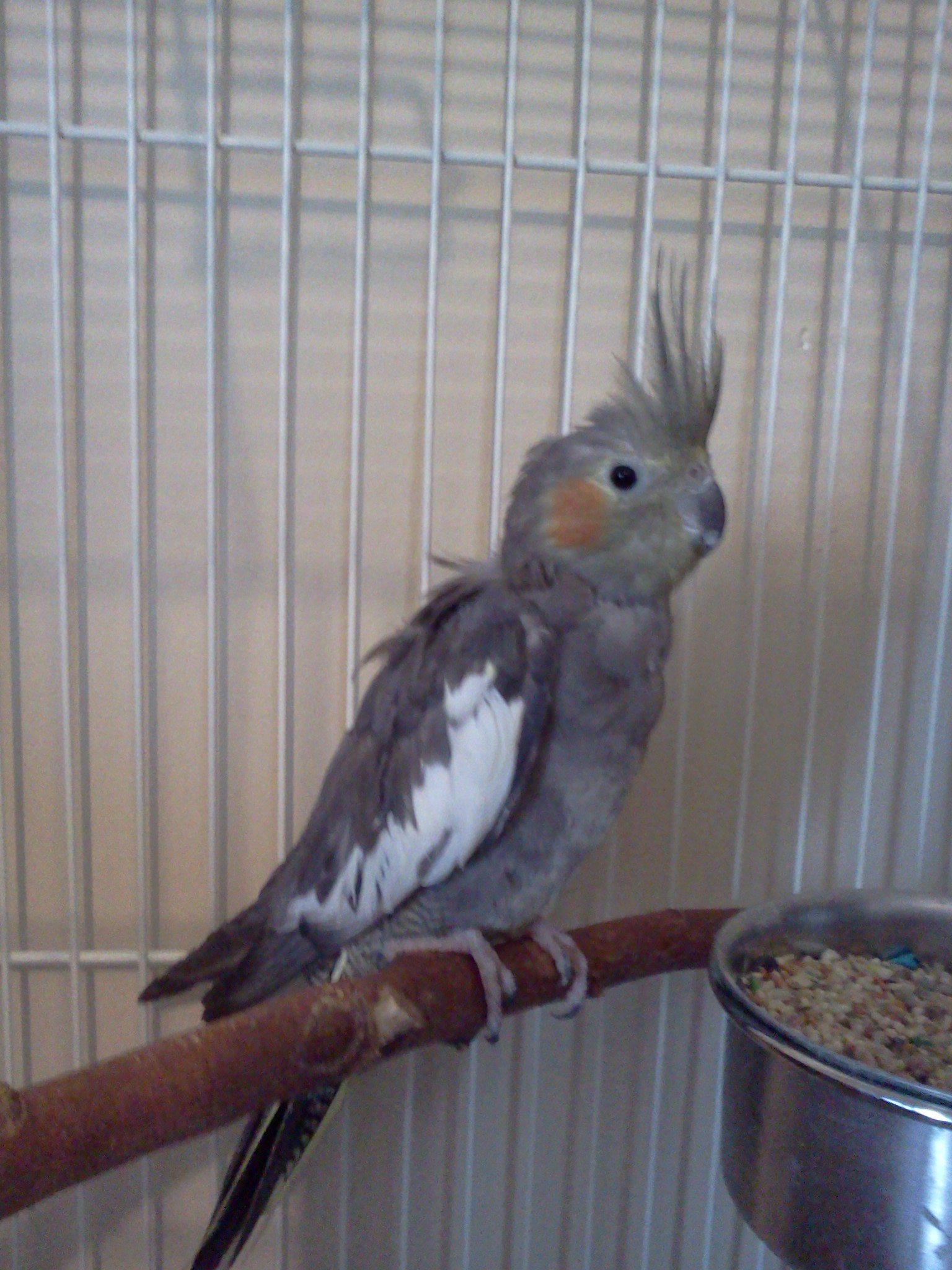 Varro, female cockatiel