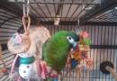 Kilo – Hahn's (Mini) Macaw