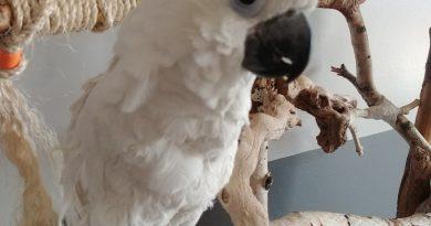 Popeye – Eleanora Cockatoo looking for love