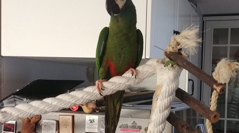 Severe Macaw looking for a family