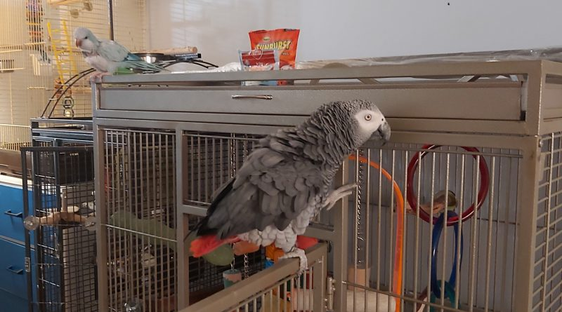 African Grey looking for a new family