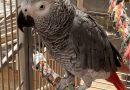 African Grey – Karo