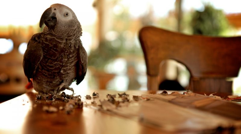 African Grey looking for a new family – ADOPTION PENDING